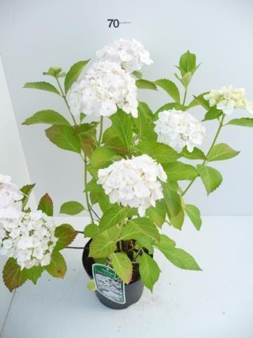 hydrangea-macr-m-emouillere-5