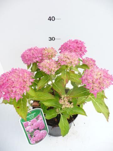 hydrangea-macr-tovelill-12