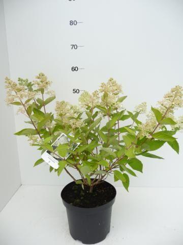 Hydrangea-pan.-Grandiflora-14