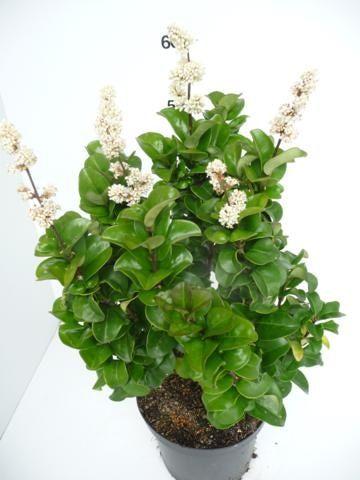 Ligustrum-jap.Rotundifolium12
