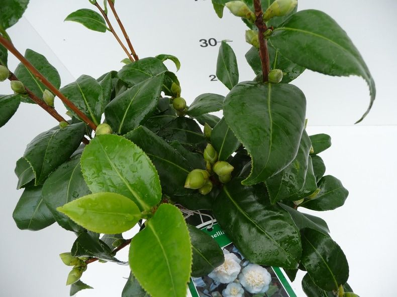camellia-jap-brushfield-yellow-11