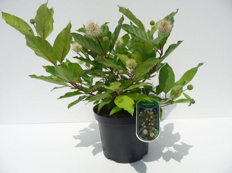 cephalanthus-occidentalis-18