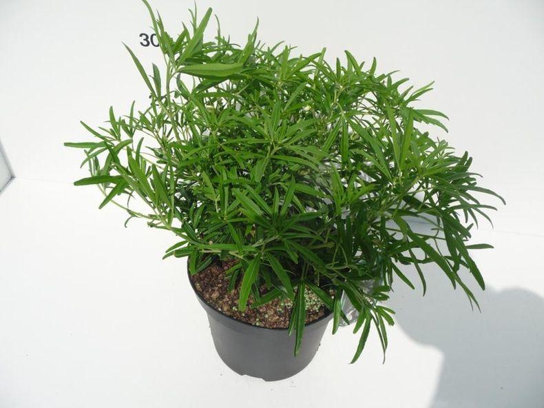 choisya-aztec-pearl-4