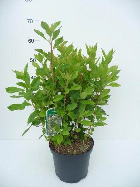 clethra_alnifolia_20120624110159_1