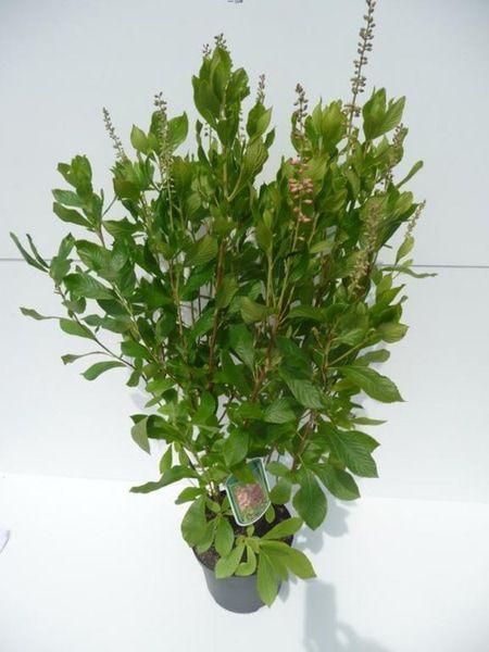 clethra_alnifolia_ruby_spice_20120624110056_1