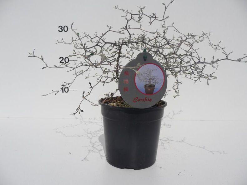 corokia-cotoneaster-p13-2