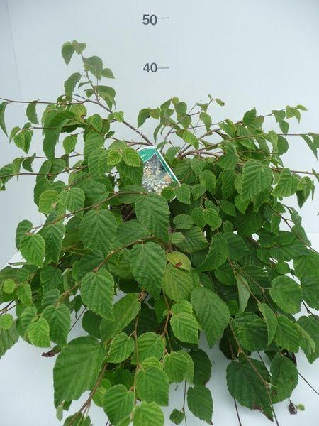 corylopsis-pauciflora-1