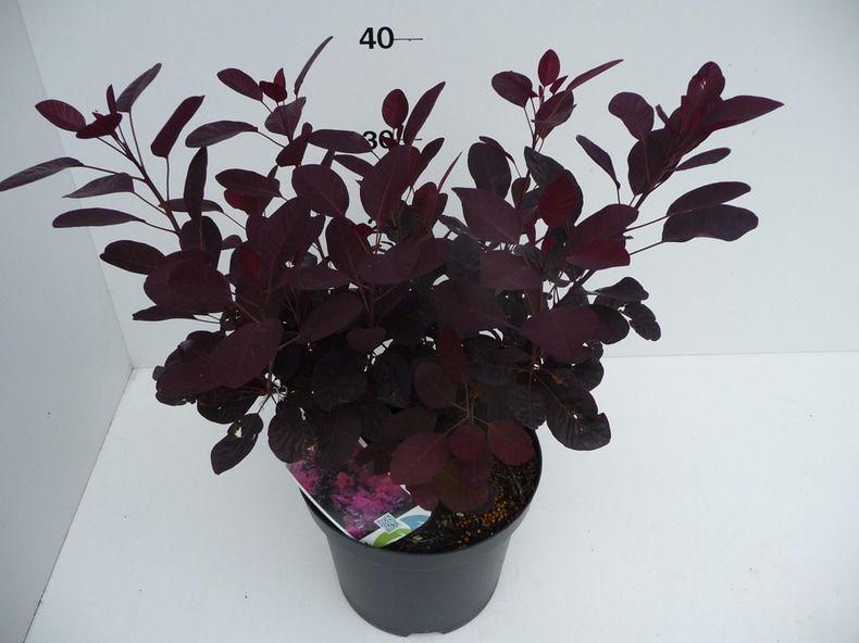 cotinus-cogg-royal-purple-8