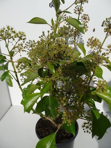 hedera-hel-arborescens-15