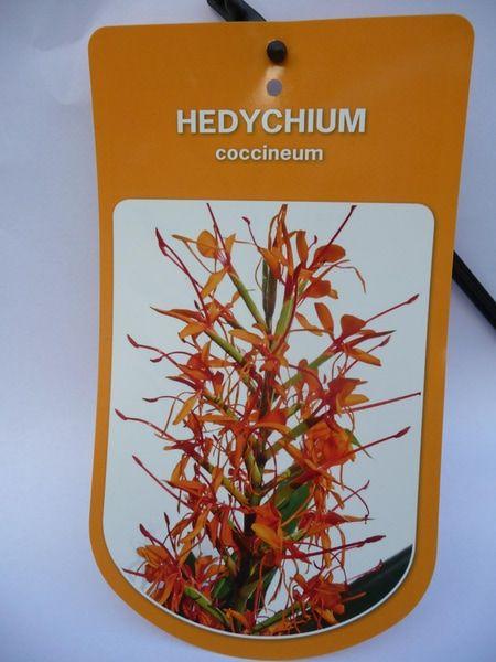 hedychium-coccineum-0