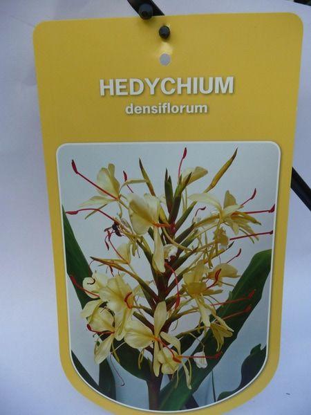 hedychium-densiflorum-0