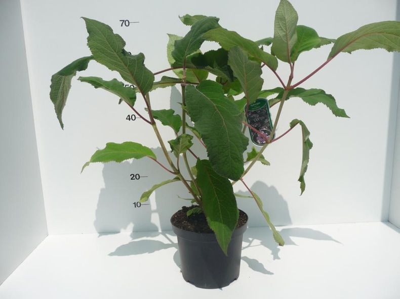 hydrangea-asp-macrophylla-4