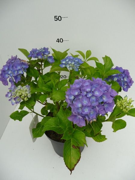 hydrangea-macr-renate-12