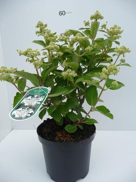 hydrangea-pan-dahruma-7