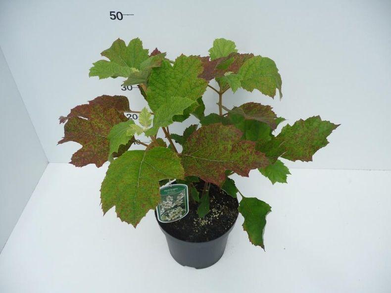 hydrangea-quercifolia-flemygea-2