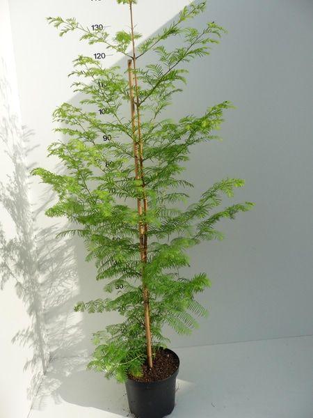 metasequoia-glyptostroboides-p20-4