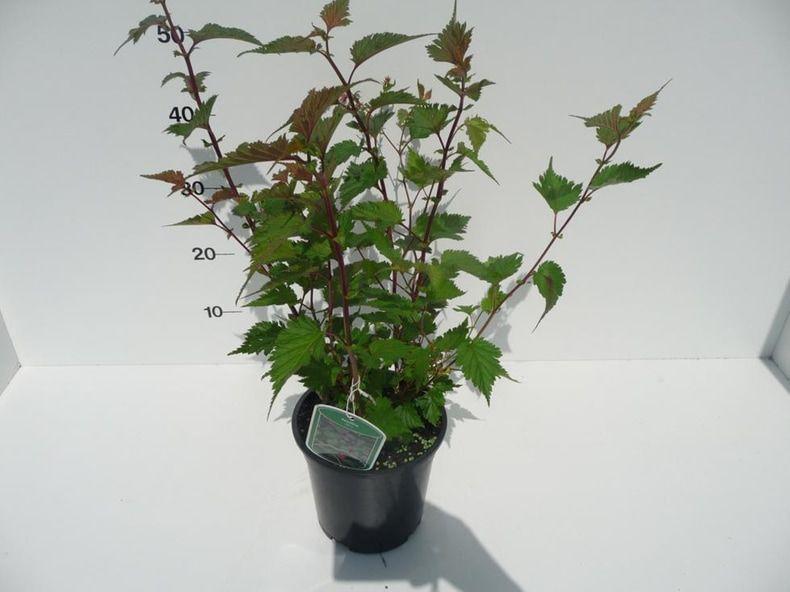 neillia-affinis-2
