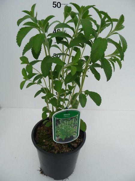stevia-rebaudiana-54