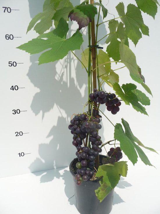 vitis-boskoop-glorie-met-vrucht-3