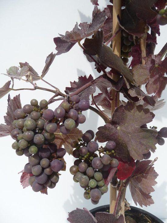 vitis-vin-purpurea-met-vrucht-3