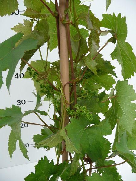 vitisvdlaan-vruchtbeginsel-2