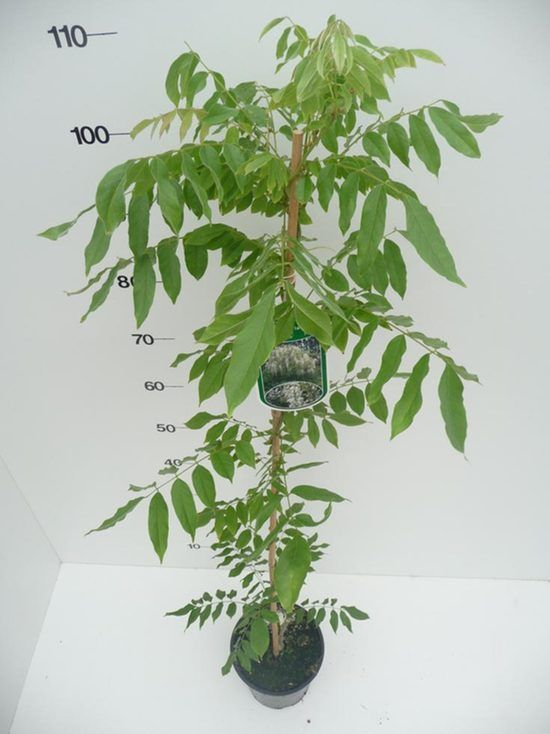 wisteria-sin-alba-p17-2